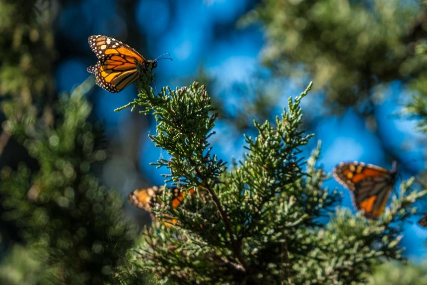 Monarch butterflies in the Monterey Bay region, Spring 2018